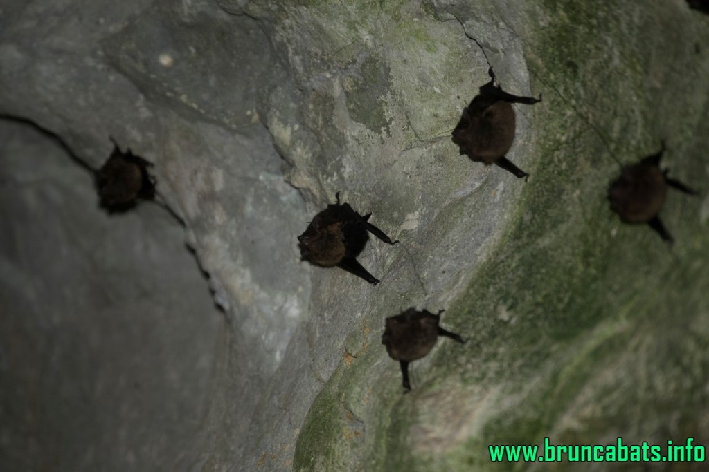 Sac-winged bats in the Emus cave